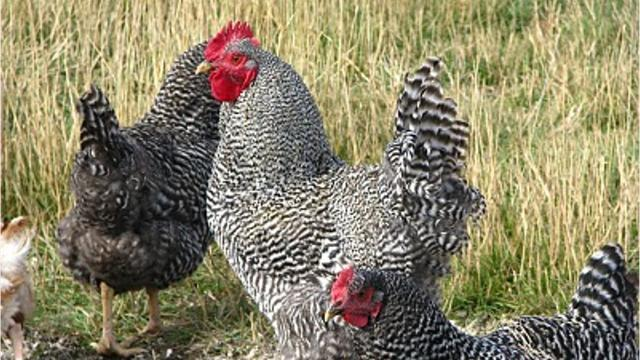 Animal rights activists steal chickens from Berthoud farm
