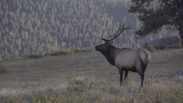 It's the time of year again when the elk in Rocky Mountain are rutting, and it's quite the sight to see.