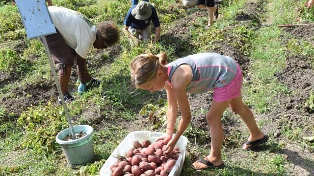 Harvesting potatoes, cultivating community