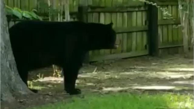 A dog barks at a bear in a backyard in Winnfield. The 350-pound Louisiana black bear has been loitering in Winnfield for the past week