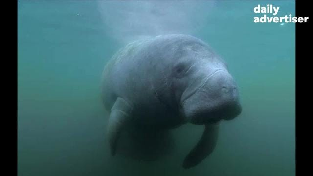 Manatees are often referred to as the gentle giant of the ocean. Thanks to conservation efforts, the West Indian manatee was removed from the endangered species list in 2017.