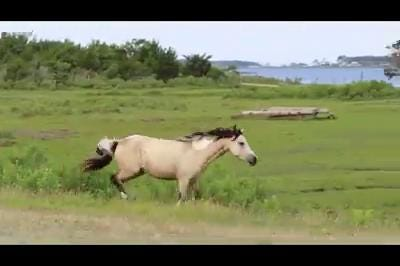 Chincoteague ponies kick up their heels
