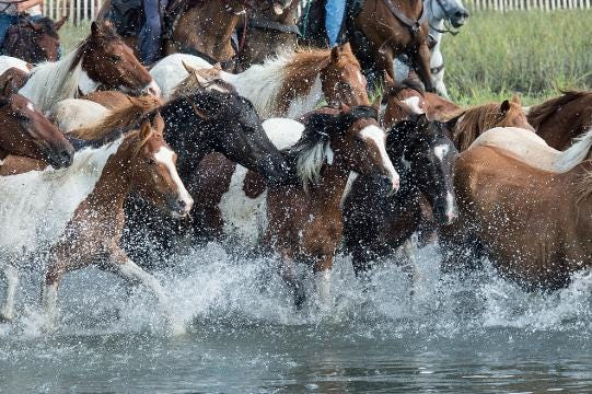 WATCH: Ponies Swim Back to Assateague