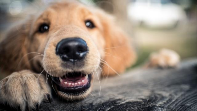 WATCH: National golden retriever show coming to Delmarva