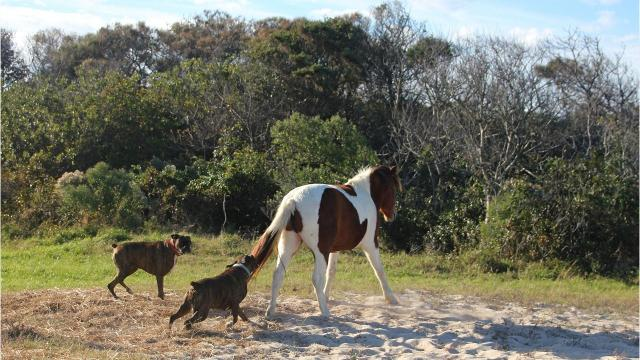 WATCH: Photos of dogs running at Assateague pony prompts investigation