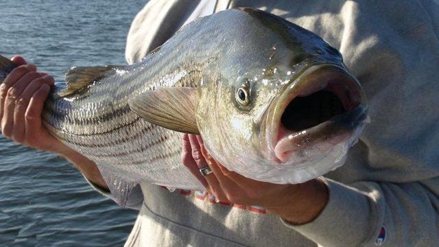 Striped bass hunters beware: Catch the fish in the wrong place and you could end up catching a big fine, too.