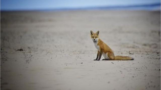 Foxes on the beach are creating a buzz on social media.
