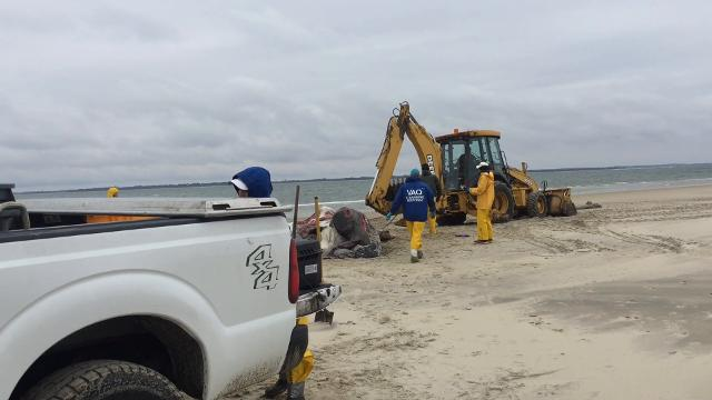 WATCH: Virginia Aquarium team performs necropsy on dead humpback whale found on Assateague