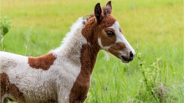 The Chincoteague Volunteer Fire Company has not been able to locate a pony on the 14,000 acre wildlife refuge.