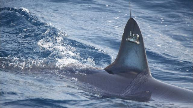The shark, named SeaWorld 5 (after the organization that sponsored the satellite tags), was tagged May 25.