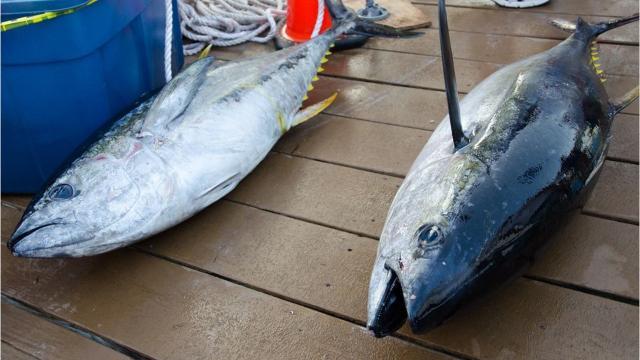 White Marlin Open 2019 live twitter feed