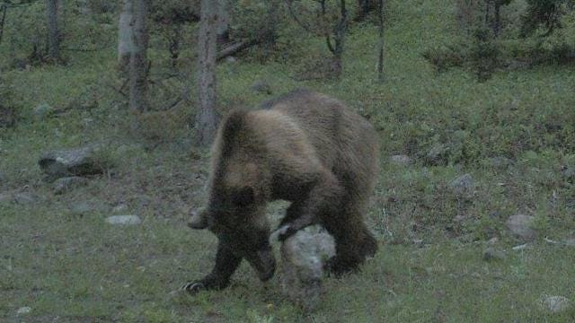 Grizzly caught on camera in Big Belt Mountains