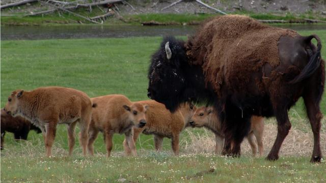 Counting bison in Yellowstone
