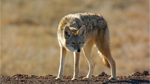 There is no official population estimate of coyotes in Montana, but they are widespread and abundant, according to Montana Fish, Wildlife and Parks.