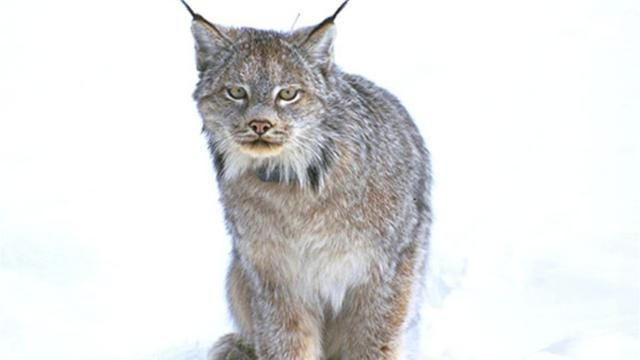 At 30 to 35 inches long, and weighing 14 to 31 pounds, lynx are similar to bobcats in size but their distinct feet, ears and tails set them apart.  This video captures the elusive cat in action.