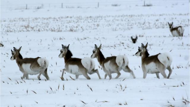 For deer and antelope, surviving Montana's winter depends on their health heading into the colder months and the severity of March and April, when they are running on reserves.