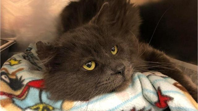 Bear, a cat caught in a steel leghold trap, is expected to make a recovery after leg amputation surgery. Soon, he'll be up for adoption.
