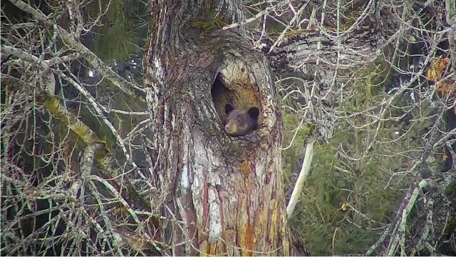 Highlights from the Glacier National Park black bear den live stream.