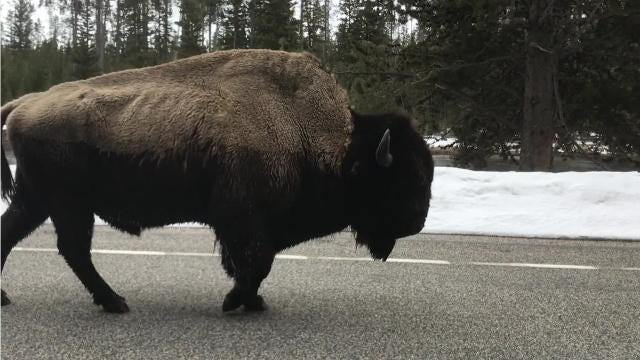 Yellowstone National Park opens its roads to cyclists for a limited time before it fully opens to vehicles. The road is expected to fully open for the 2018 season on April 20.