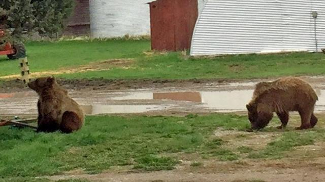 Linda and John Holden found two young grizzlies wandering around outside their home on Friday evening.