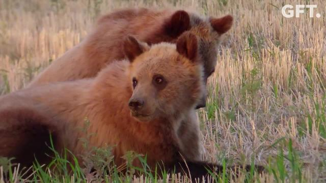 Boris the dog encourages two young grizzly bears to leave his farm in Dutton, Mont.  Owners, Ron and Becky Rosholt, describe their surprise when the bears visited their farm during the Memorial Day weekend. Grizzly bear sightings on prairies east of the Rocky Mountain Front are on the rise, which has some worried about the potential for human and bear conflicts.