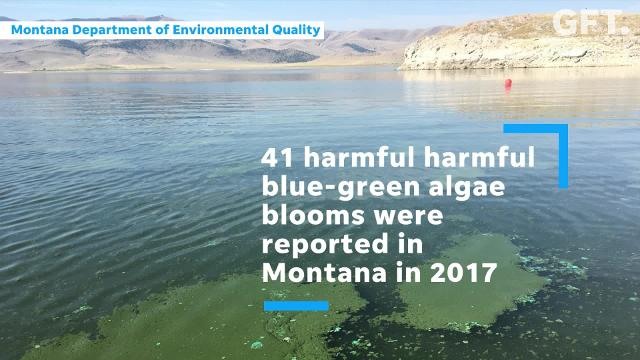 The public is being urged to keep an eye out for harmful algae blooms, a seasonal phenomenon on Montana lakes, reservoirs and ponds that can make people sick and even kill pets and livestock.