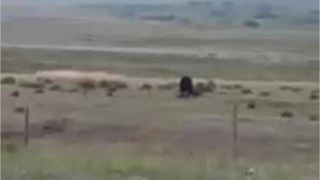 Bears routinely visit the Blackleaf Livestock Co. ranch west of Bynum on the Rocky Mountain Front.