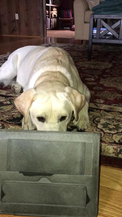 Video shot by Sandy Hite shows her dog Daisy watching an instructional video for service dogs.