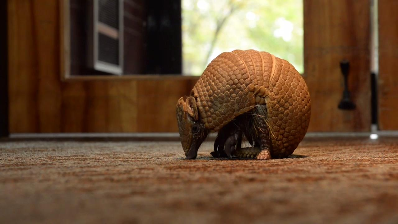 Erin Gray, the Animal Ambassador Lead Keeper for Nashville Zoo, talks about their three-banded armadillo Pele, and how he is different from the nine-banded taking over areas of Tennessee.
