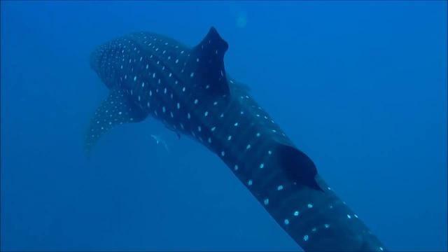 Underwater video: Whale shark near Naples