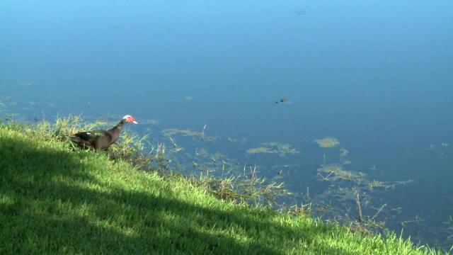 Alligator spotted near Naples Daily News building