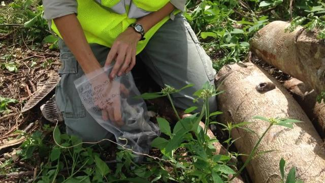 In this 2017 video, archaeologists sift through the root balls of trees downed by Hurricane Irma, looking for Calusa Indian artifacts at the Otter Mound Preserve on Marco Island.