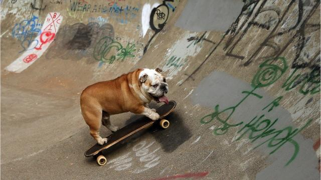George is a 4-year-old bulldog that's obsessed with skateboarding.