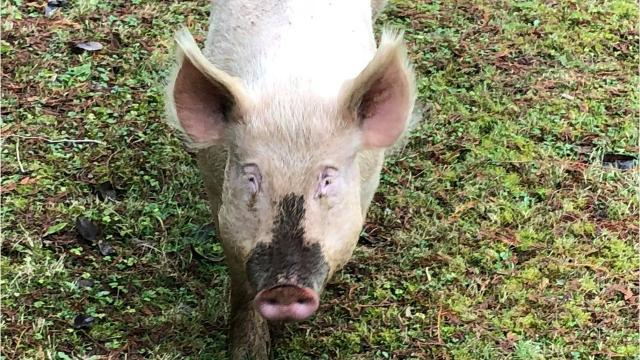 Kitsap Animal Control captured two wayward pigs in the Woods Road neighborhood of South Kitsap during the first week of January 2018.