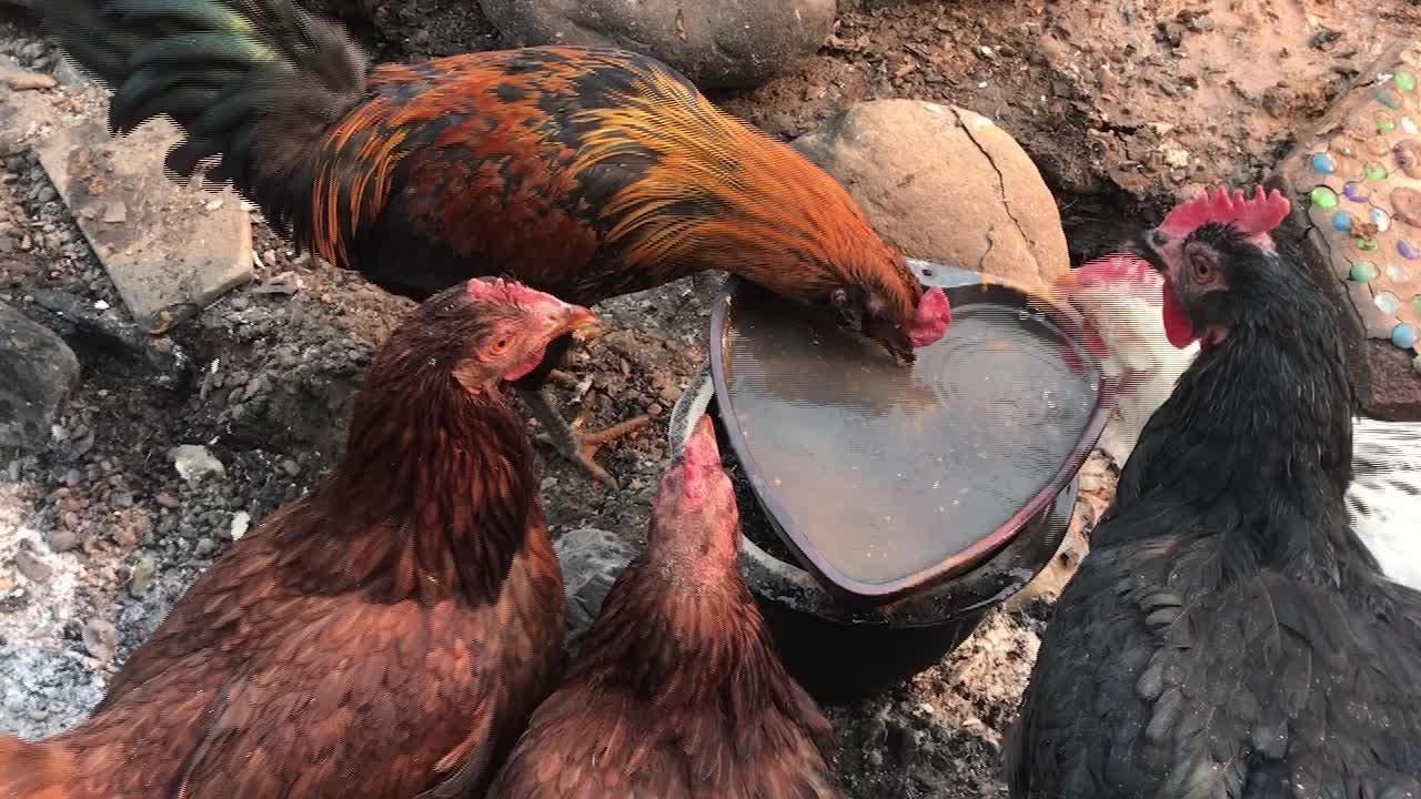 Chickens roam through Camino Cielo properties ravaged by the Thomas Fire.