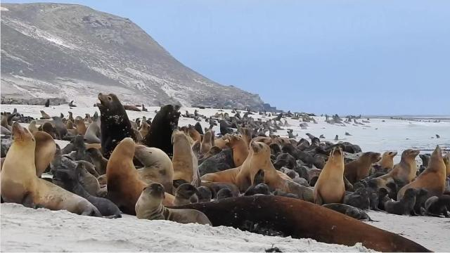 California sea lions head to San Miguel Island every year to breed.