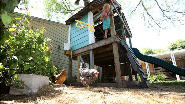 What you should know to raise chickens in Corpus Christi