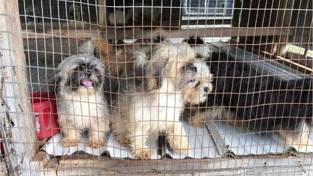 Shih Tzu puppies rescued from puppy mill