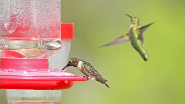 For the Birds, Hummingbirds, that is