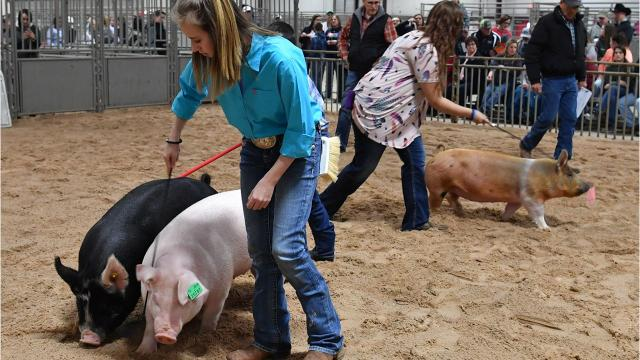 Youngsters show and sell their FFA and 4-H project animals at the 2018 Wichita County Junior Livestock Show.