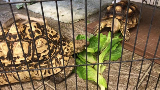 The Tortoise Acres Rescue and Sanctuary has established an adoption center on East Street in Anderson.