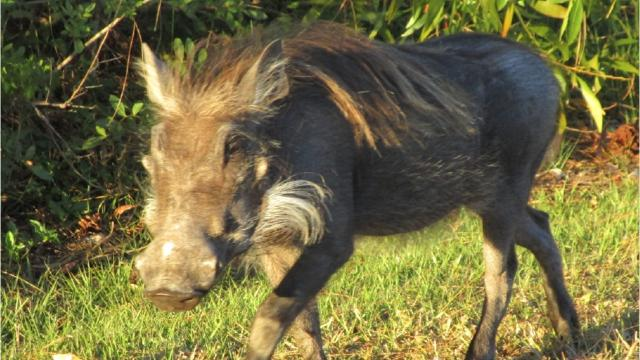 The tusky pig had been wandering around north St. Lucie County