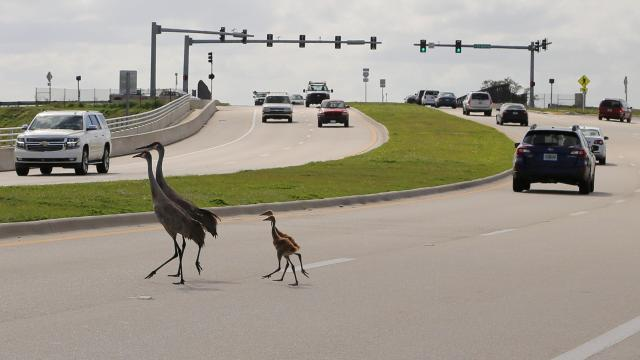 Spring can be deadly for sandhill cranes as adults busy feeding and guarding their chicks are less wary of passing cars, especially if they've been conditioned to getting handouts from humans. TYLER TREADWAY/TCPALM