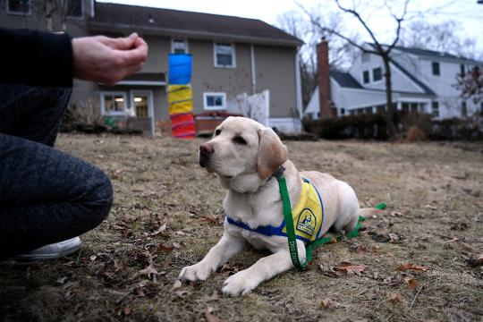 Mary Arguello and her family are fostering Maddie, a six-month-old Labrador/Golden retriever mix, to become a Canine Companion for Independence assistance dog.