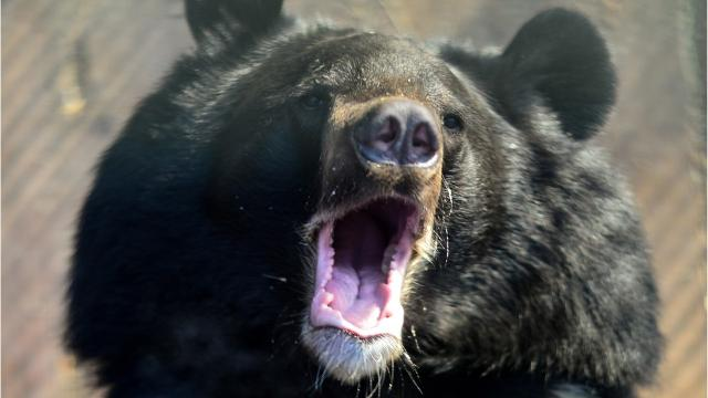 Does and don'ts when you are face to face with a black bear.