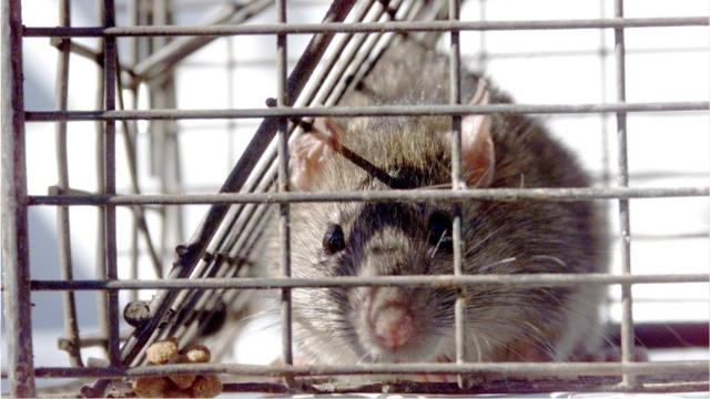 Roof Rat Season Is Here 5 Steps To Keep Them Out Of Your Home