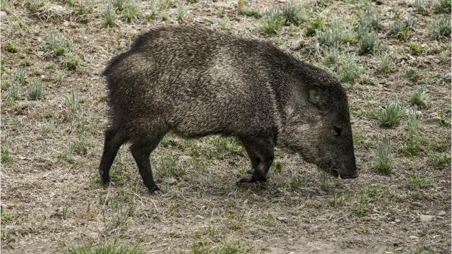 Javelina Pigs