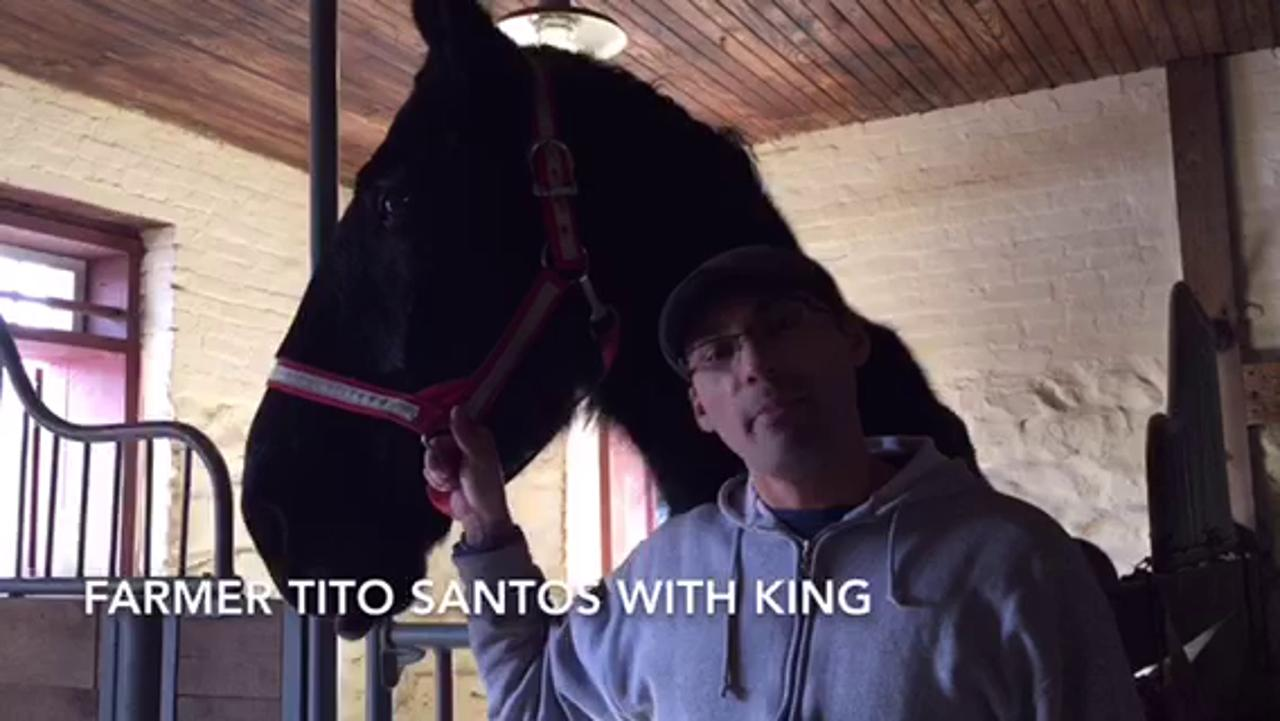 Fosterfields Living Historical Farm introduced their new draft horses King and Major at their Winter's Day at the Farm program on Sunday, Feb. 7, 2016. IPHONE VIDEO BY LESLIE RUSE