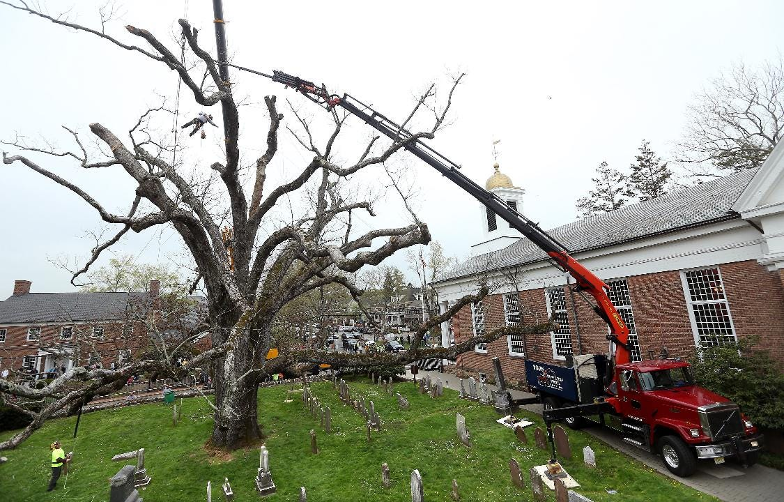 WATCH: After 600 years, Basking Ridge's famous oak is coming down