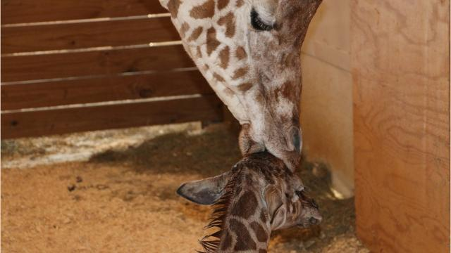 VIDEO: April's calf weighs in